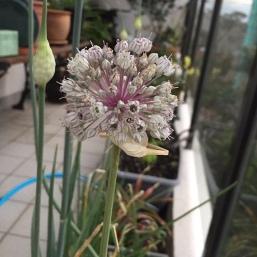 leek flower